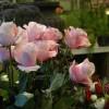 skicka_blommor_20130208_1083933783.jpg